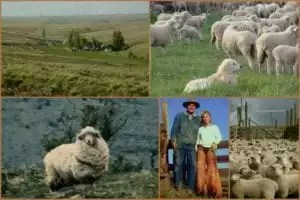 sheep and ownersx