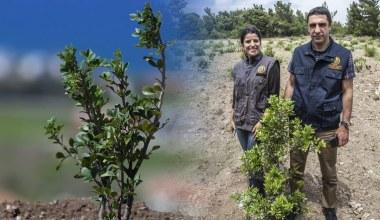 Çeşme'de;4 Yılda 30 Bin Sakız Fidanı Toprakla Buluştu