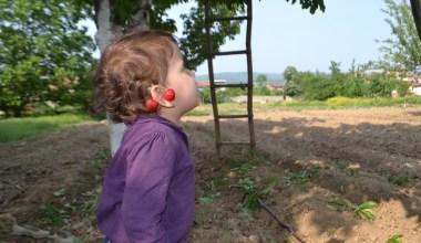 (Özel) Kiraz hasadı başladı; tarlada fiyat 5 ile 8 TL arasında