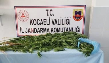 İzmit'te ormanlık alana ekili 67 kök kenevir ele geçirildi