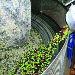 Olive Oil Production in a Stone Mill