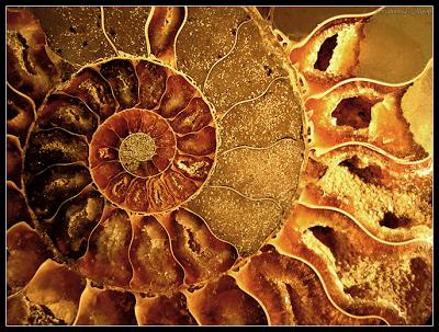 Ammonite des berbères Ammoniens