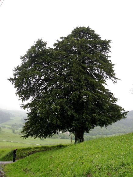 800px-Taxus_baccata_tree