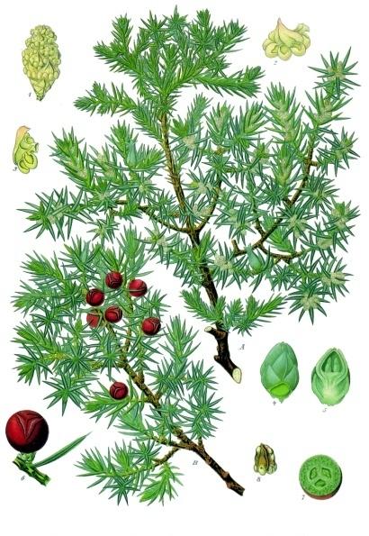 Juniperus_oxycedrus_-_Köhler–s_Medizinal-Pflanzen-083