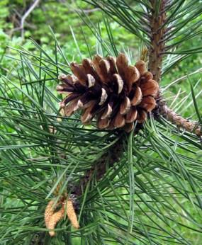Pinus nigra 12-5-07 132