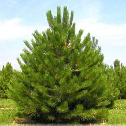 Pinus-nigra-Austriaca-1
