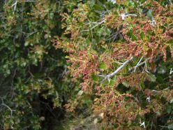 1280px-Quercus_coccifera1_de_maig_de_2009