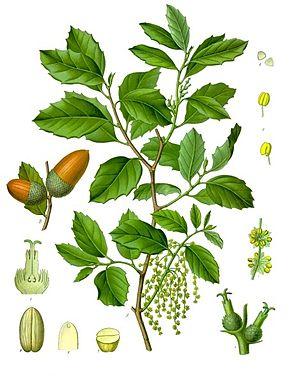 290px-Quercus_suber_-_Köhler–s_Medizinal-Pflanzen-254
