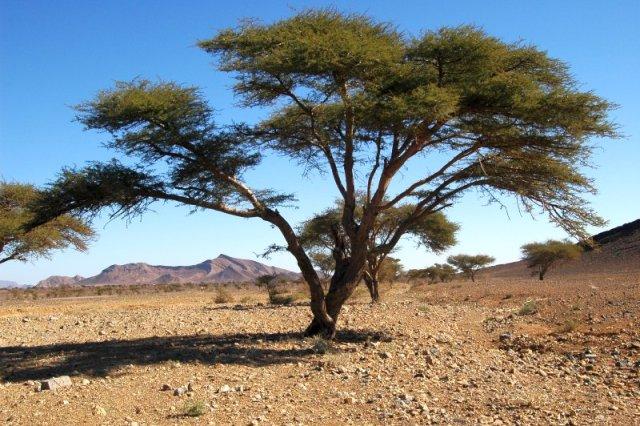 Les Acacias arbres-pharmacies d'Hespérie