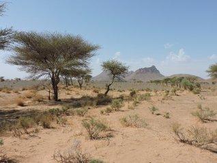 acacia-du-maroc