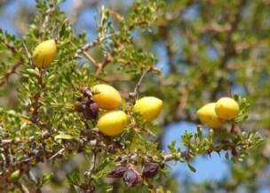 fruit-argan