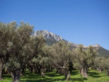 oliveraie-mediterranee