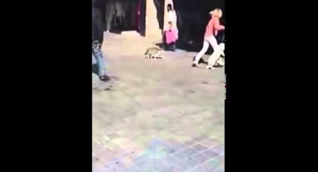 قط مغربي مْرَمْضَنْ يهاجم كلب سائحة في مراكش
