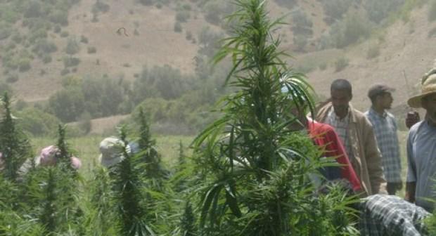 المغرب من الدول الأكثر استهلاكا لنبات القنب الهندي