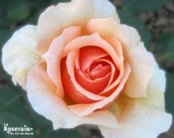 Rose Madame Raymond Poincare RdVM_4-3_wp