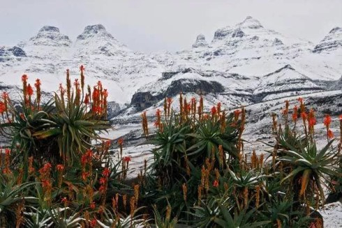 2016-july-snow-aloes-in-berg