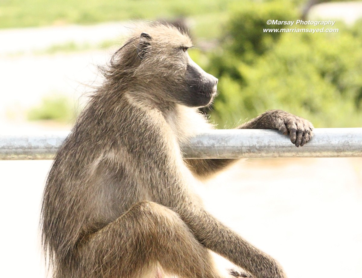 chachama-baboon-side-shot-watermark.jpg?fit=1200%2C923&ssl=1