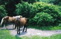 Greyson Ponies