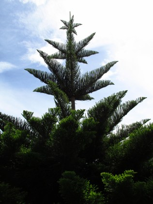 This is called a Norfolk Pine, an oddly shaped tree for sure.