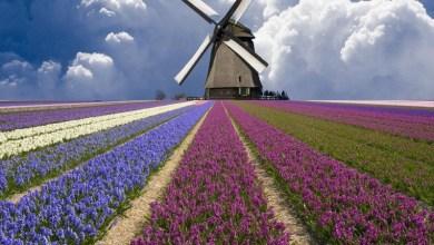 Photo of الأزهار في هولندا توزع مجاناً على المستشفيات بعد وقف التصدير… ومصير الإفلاس يهدد زارعيها