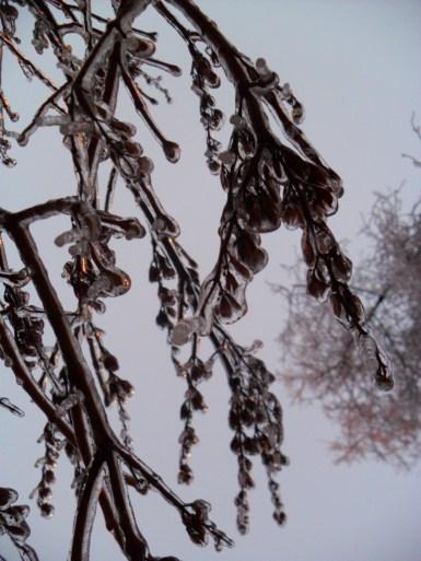 Ice rain enveloped branches. Montreal, 2015