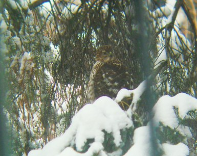 Peregrine falcon in Montreal