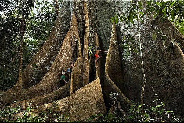 imagem de tronco de uma Sumaúma ilustra Exploração madeireira ilegal
