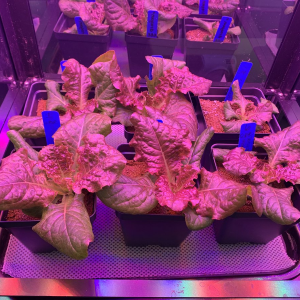 Wicking Hydroponics Kit: OutREDgeous Lettuce