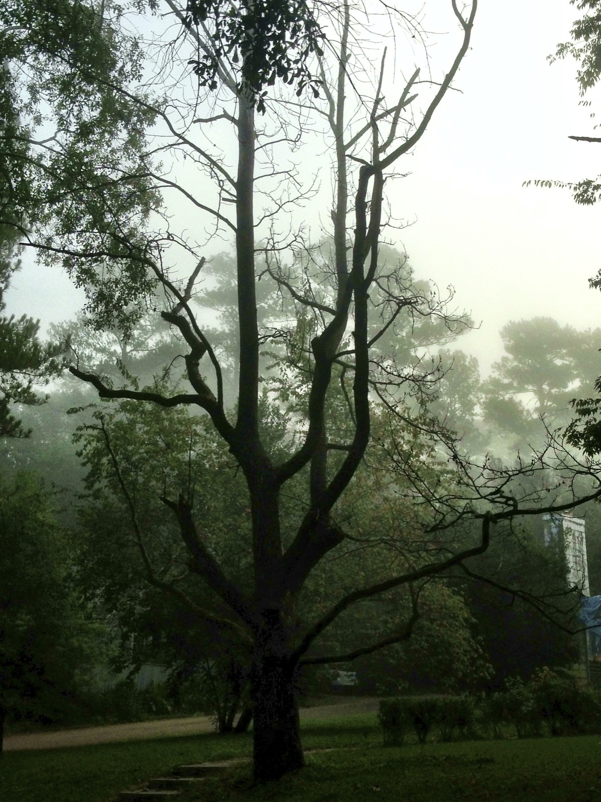 fog, trees