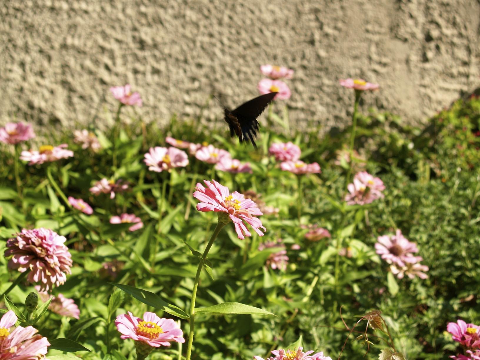 butterfly, zinnias