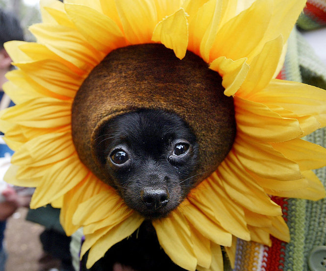 dog in sunflower