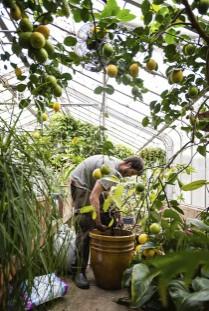 citrus in a greenhouse