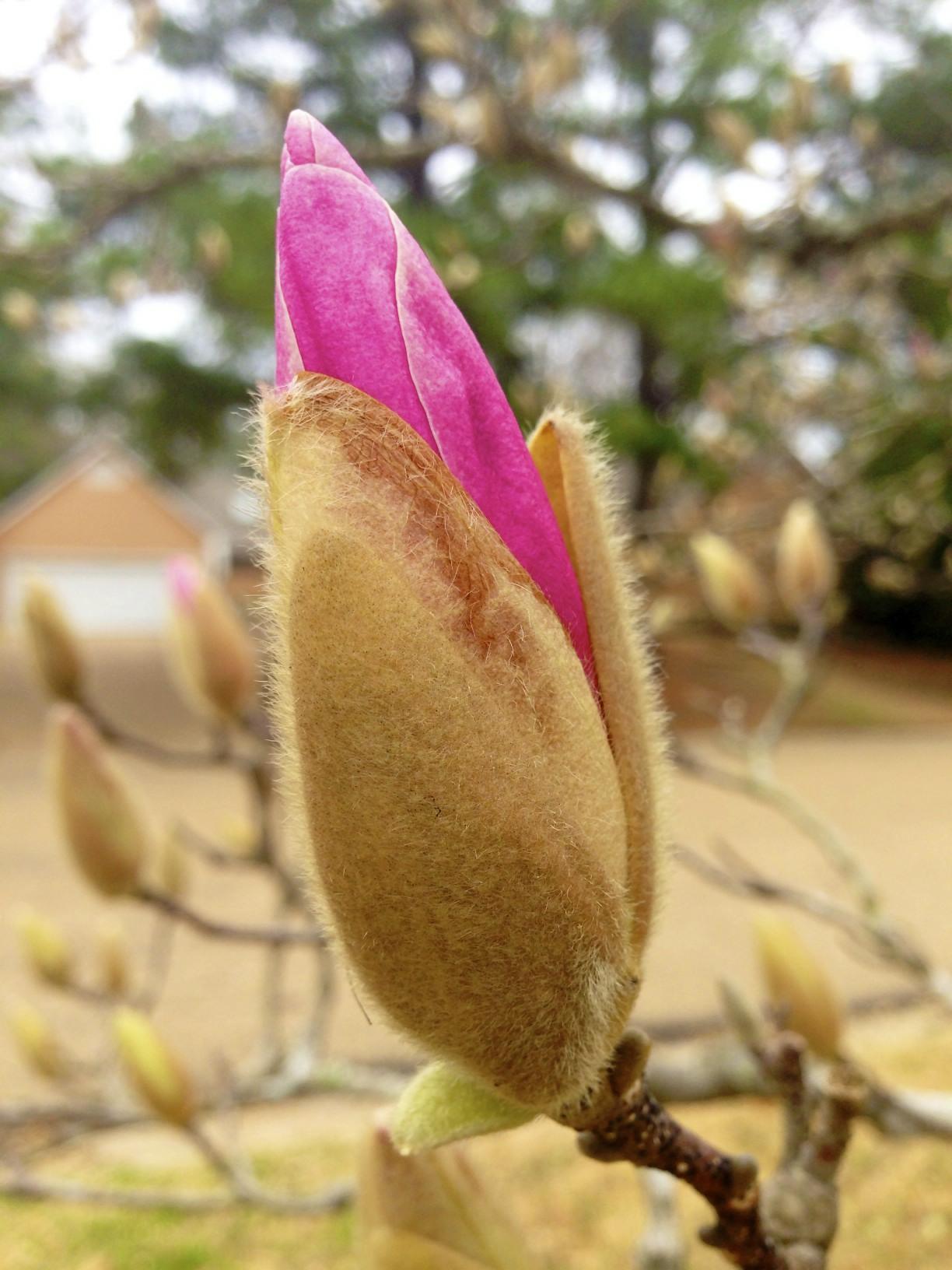 Japanese Magnolia, Mangolia liliiflora