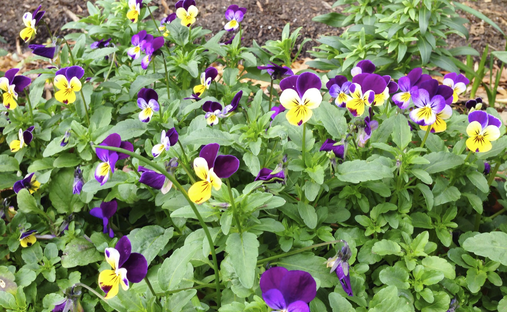pansies in the Eudora Welty garden