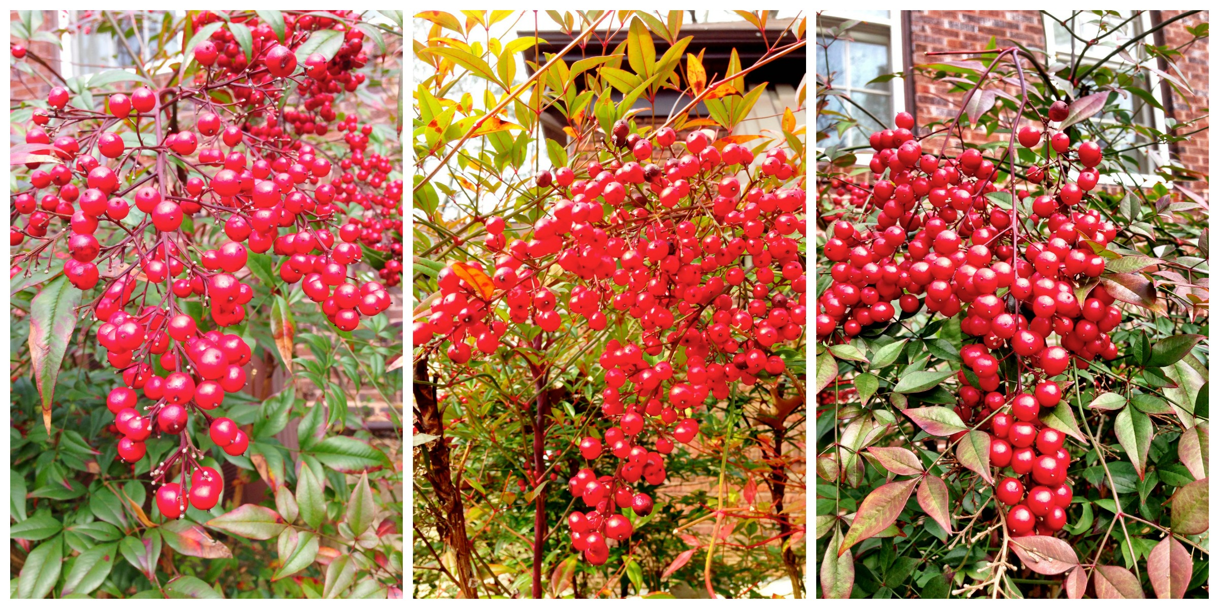 Nandina berries in the Eudora Welty garden
