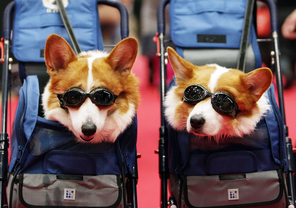 dogs at fashion show