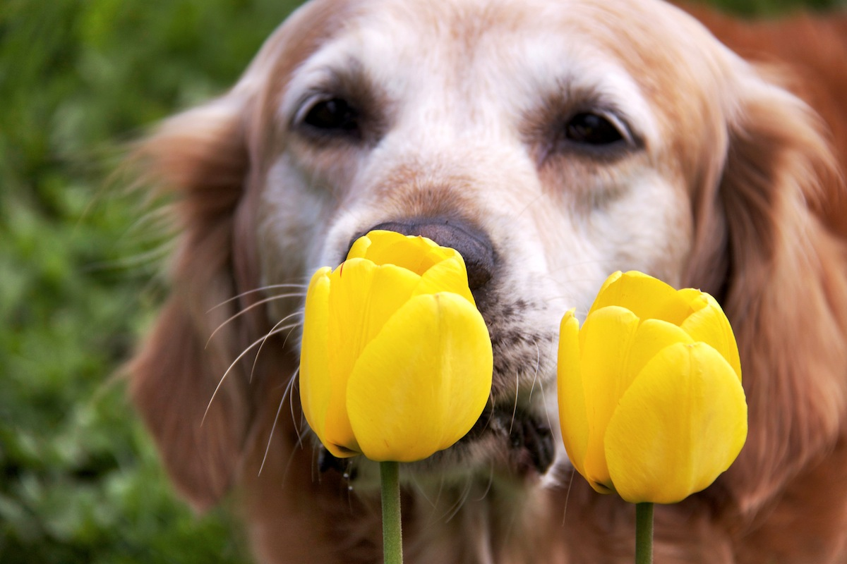 dog with tulips