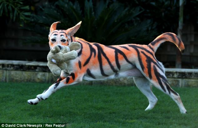 dog as tiger