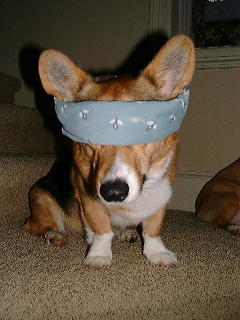 dog in blindfold