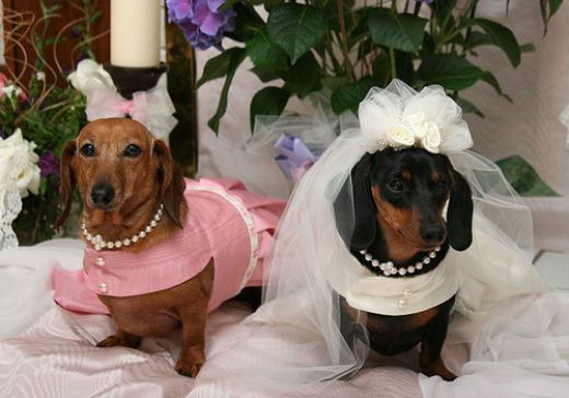 bridal dogs