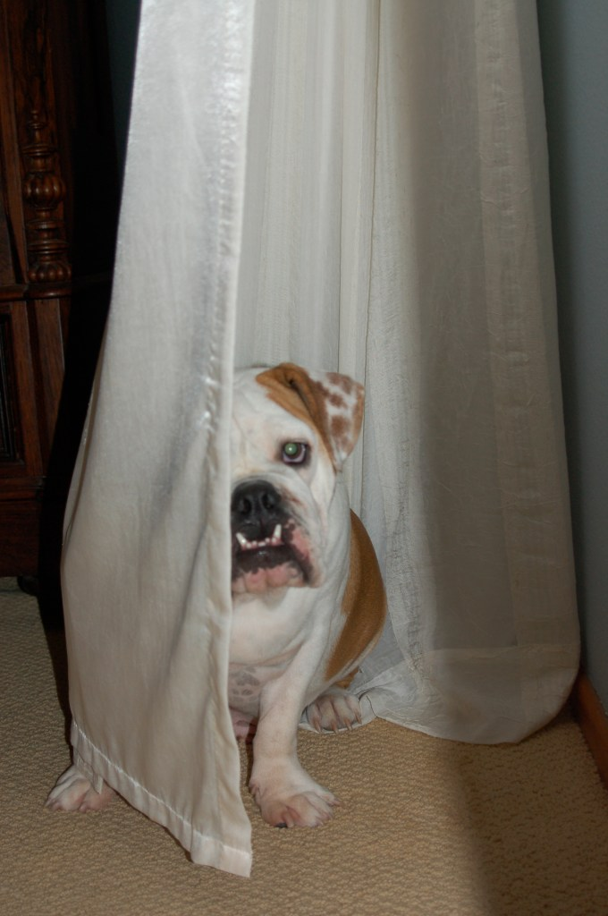 dog behind curtain
