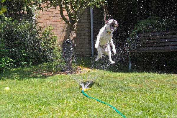 Dog-vs-Sprinkler19