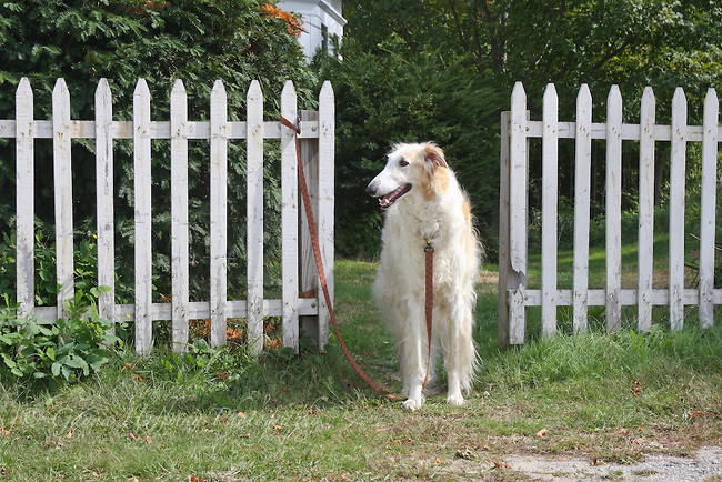 dog and picket fence