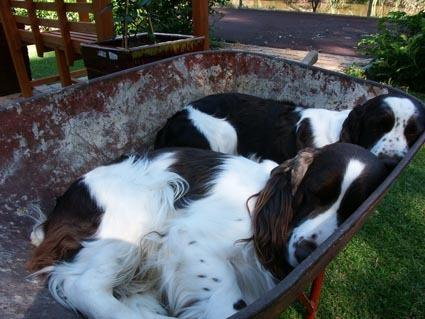dogs in wheelbarrow