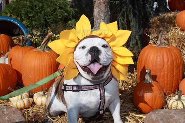 Halloween Bulldog 3940