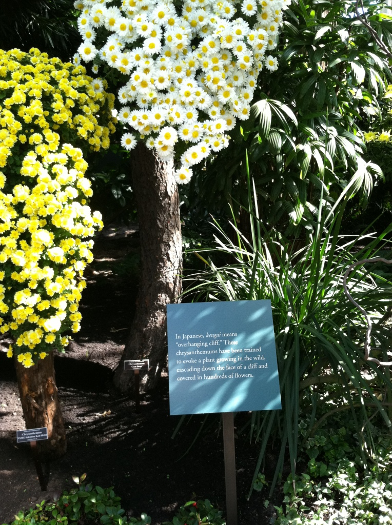chrysanthemum show 12