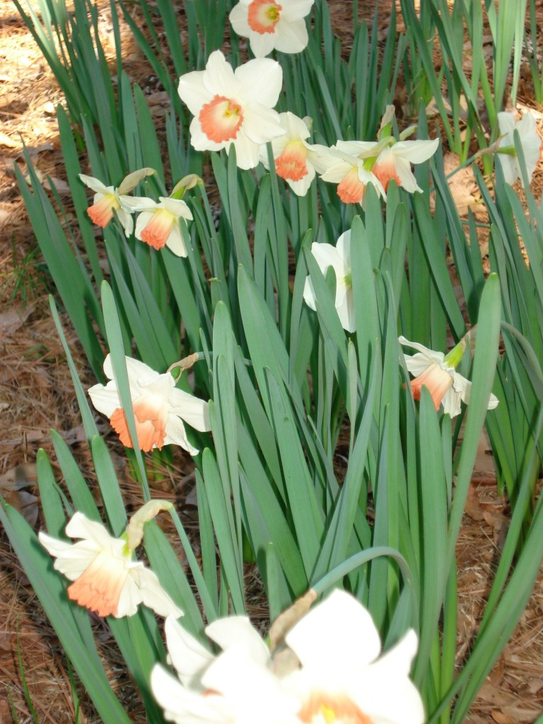 flower of the month narcissus