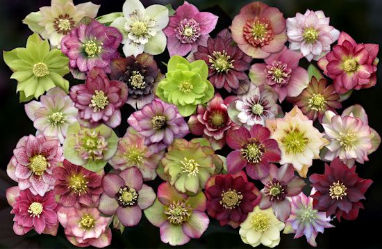 hellebore-blooms-from-Sunshine-Farm-and-Gardens