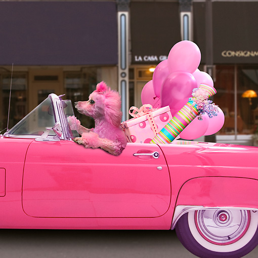 pink dog convertible