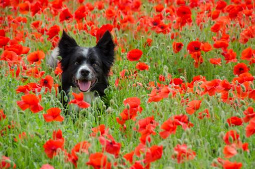Dog among poppies